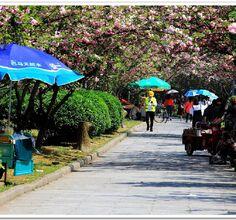 荆州南门的樱花盛开了